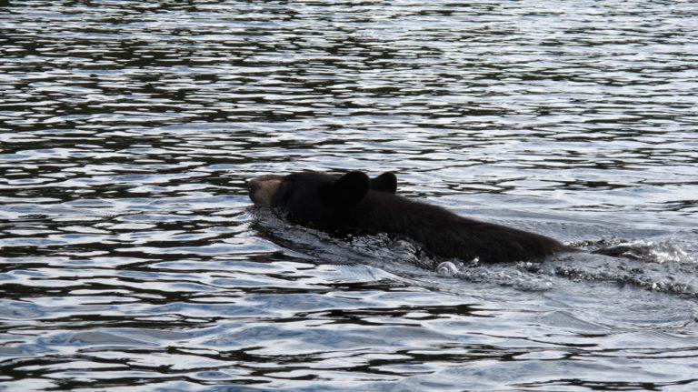 Swimming bear by Myriam Harvey