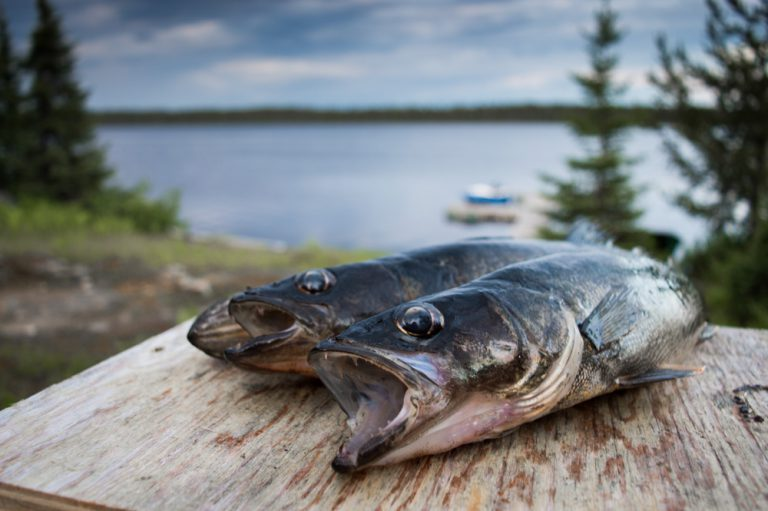 Walleye for lunch by Dallas Eberly