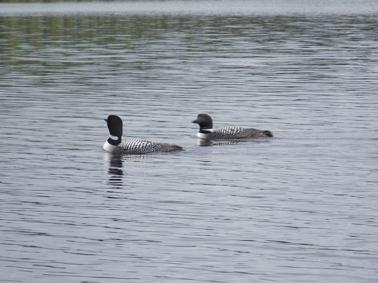 Ron Stoll couple of loon Nancy's lake